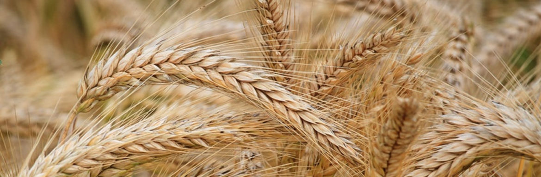 Producción de trigo por hectárea